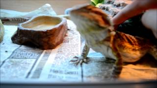 How To Tame Your Bearded Dragon | Useful Tips