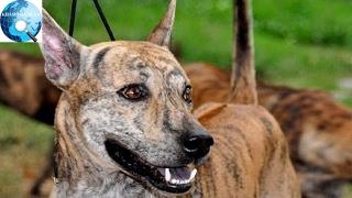 Việt Nam đang sở hữu một trong những loài chó hiếm và đắt nhất trên thế giới mà không ai biết
