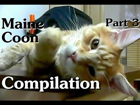 Maine Coon Compilation - Part 3 of Maine Coon Cats doing Maine Coon things