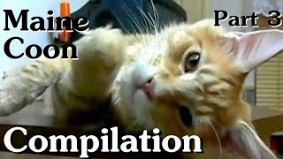 Maine Coon Compilation  Part 3 of Maine Coon Cats doing Maine Coon things