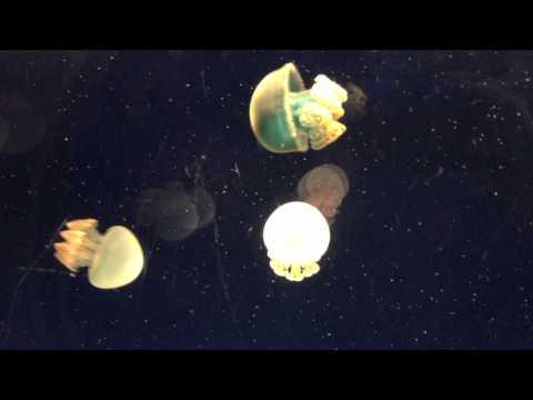 Jelly Blubber Jellyfish At Osaka Aquarium