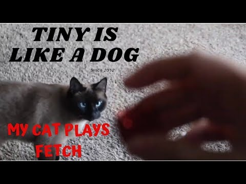 SIAMESE CAT l My cat plays fetching