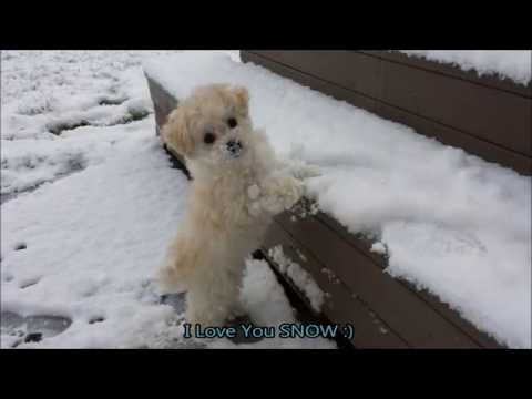 Maltipoo / Poodle Puppies Life - First Snow