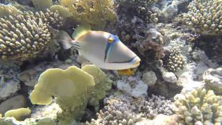 Video Picasso Trigger Fish has a nibble of my gopro! download MP3, 3GP, MP4, WEBM, AVI, FLV September 2017