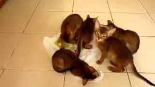 Кошки  Приколы  Абиссинские котята  Смешные приколы с кошками1