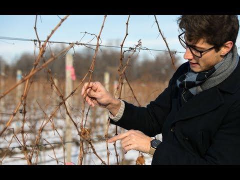 Researchers unlock genetic clues to help grapes survive winter