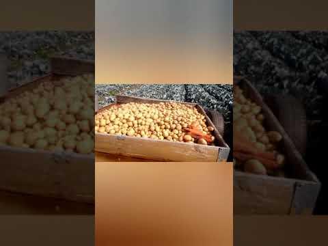 Картофель Аризона уборка 20 августа
