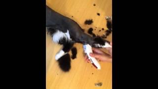Стрижка кота без наркоза/лучшая стрижка кота/смотреть всем/груминг/стрижка перса/