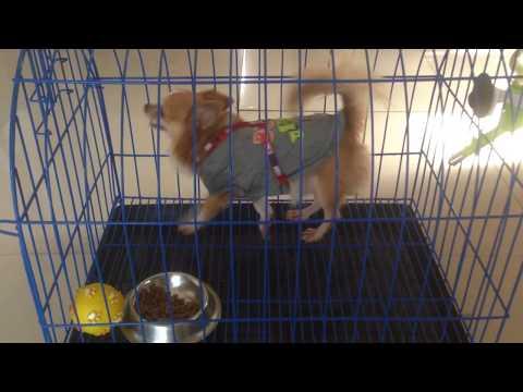 Chihuahua (Long coat) - Small Dog Breeds