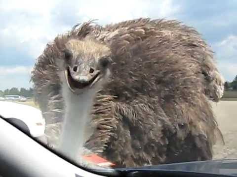 Ostrich, the windshield pecker from Canada's African Lion Safari