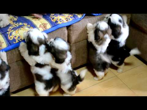 Shih Tzu Puppies after the 1st bath :)