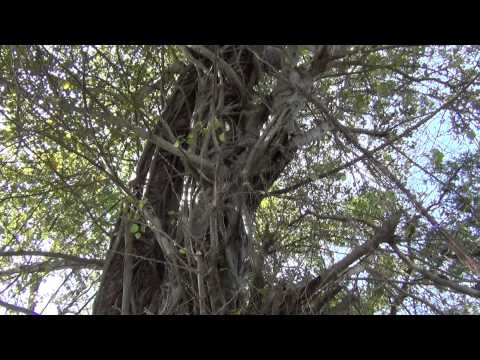 Bodhi Tree intertwined SE in Thailand