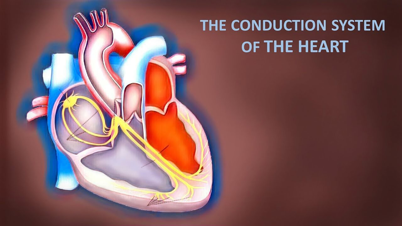Cardiovascular anatomy and physiology the conduction system of the ...