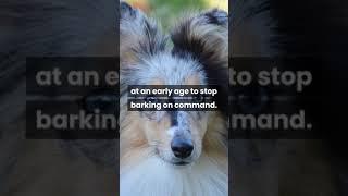 Shetland Sheepdog facts