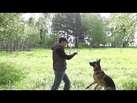 дисплазия у собак. тренировка . урезанная версия