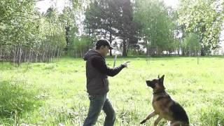 дисплазия у собак. тренировка . урезанная версия(канал существует на пожертвования зрителей. Paypal: medwed172@mail.ru версия урезанная., 2014-06-14T05:05:42.000Z)