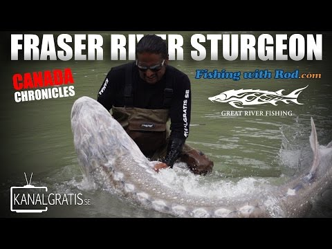 Canada Chronicles - Fraser River Sturgeon Ft. Fishing With Rod & Kanalgratis.se
