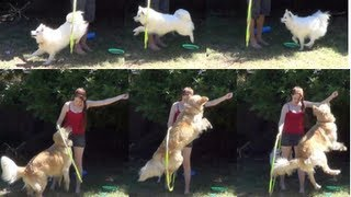 Teach Your Dog To Jump Through A Hoop