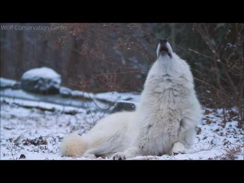 Beautiful Wolf, Beautiful Howl.