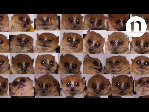 Small, furry and powerful: are mouse lemurs the next big thing in genetics?