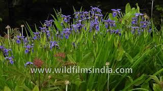 Iris flowers in full bloom in Bhutan