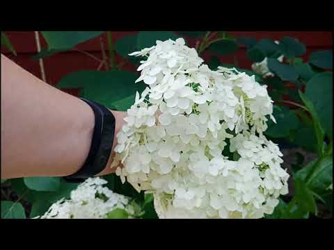 Климат Воронежская область. Погода Лиски 20 июня 2019. Мой сад.