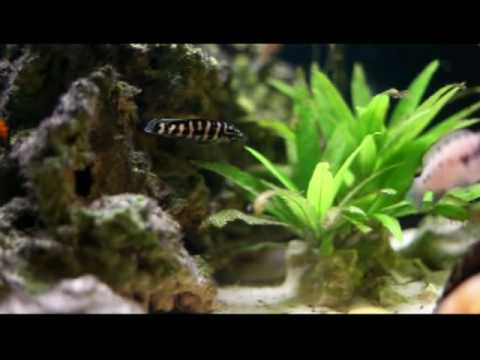 "Julidochromis transcriptus sp. ""Gombi"""