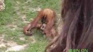 małpa pije siki