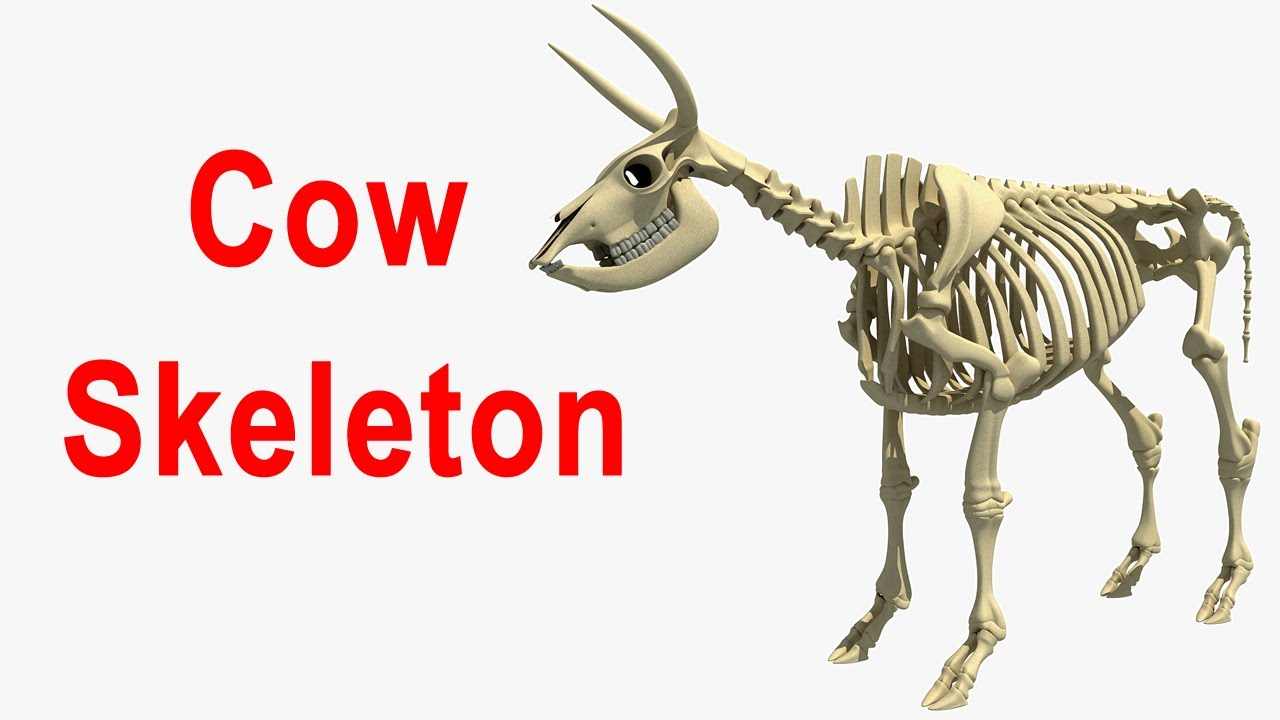 hight resolution of cow skeletal diagram