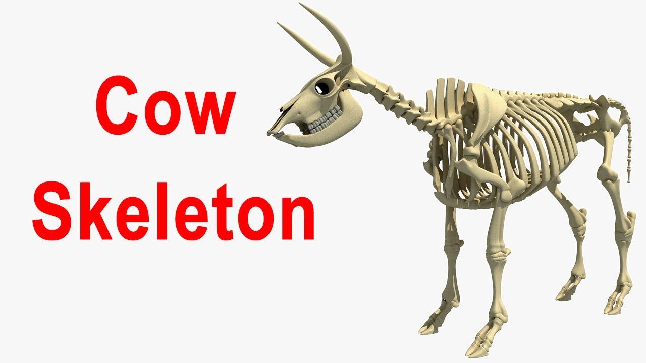 3d Animal Models Cow Skeleton 3d Model Youtube