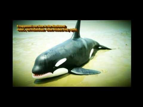The Killer Whale Namu Song