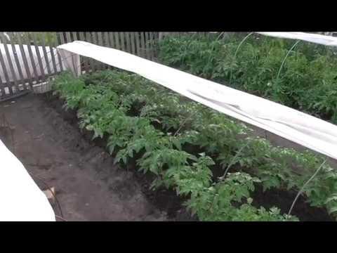 Безрассадные помидоры через два месяца после посева в открытый грунт