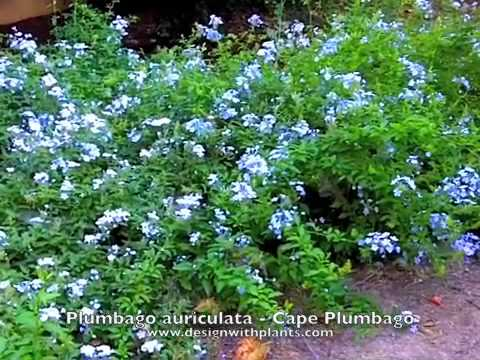 plumbago plant how to grow the blue plumbago, Natural flower