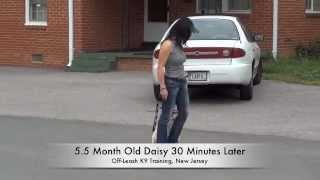 Daisy Before And After Video! Ecollar Training, New Jersey! Dc, Va, Md, Pa, Nc
