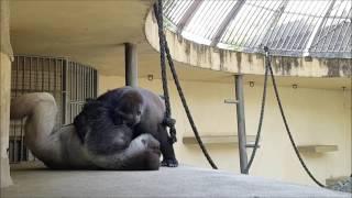 Een potje 'judo' met gorilla's Bokito en Nasibu in Diergaarde Blijdorp Rotterdam