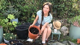 Growing Dahlias / H๐w To: Pot up Dahlia Tubers in Spring / Homegrown Garden