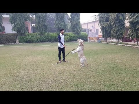 Labrador Playing in India || Dog Lovers ||