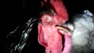 Kogut Kochin też chrapie w nocy  :-)