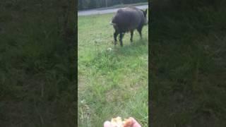 Guziec - świnia z Afryki w Śwnioujściu