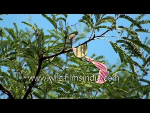 Banni mara or Acaia ferruginea tree at Lalbagh Park