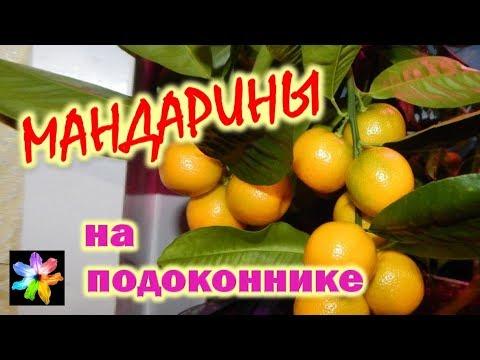 🍊🍋 Мандарин и лимон в домашних условиях. Цитрусовые в квартире