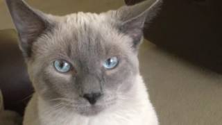 Bluepoint Siamese Cat & Owner funny Compilation