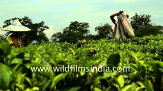 Female workers tirelessly pluck tea leaves in Assam