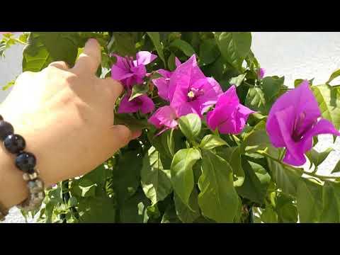 Бугенвилии,  как заставить цвести!  Очень просто!