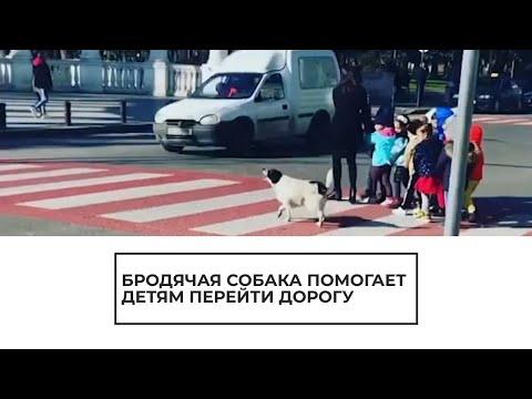 Вопрос: Откуда собаки знают, что дорогу нужно переходить на зеленый свет?