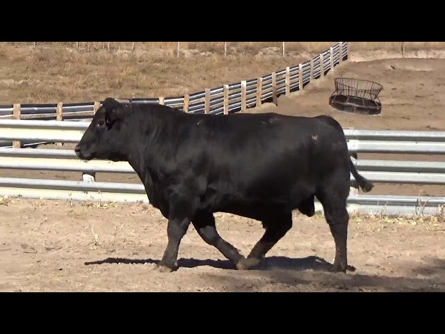 Connealy Angus Lot 10