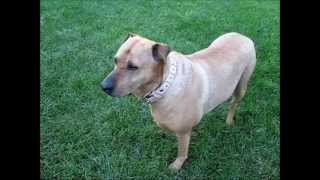 A Rhodesian Ridgeback Sharpei Mixed Breed Pet Dog Bestfriend Jazevox