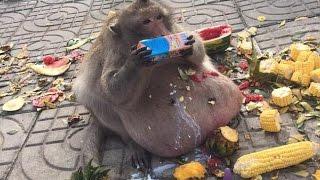 Obese Thai Monkey