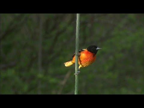 شاهد: نفوق واختفاء مليارات من الطيور في كندا و أميركا خلال الـ 50 سنة الماضية…  - نشر قبل 3 ساعة