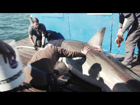 Hilton shark tagged by Ocearch